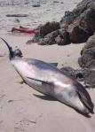 En punto de la coruñesa, como arteixo, aparecieron varios delfines