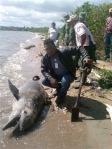 matanza-delfines-y-manaties-Saban-del-Mar