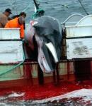 Caza de una ballena en Islandia, en una imagen de archivo AP