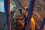 lobo-marino-Chile