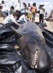 Un delfín muerto en la playa de Upanema, en Areina Branca, estado de Rio Grande de Norte, el 22 de septiembre del 2013. Unos 30 delfines llegaron a la arena en una playa del noreste de Brasil y se quedaron atascados. Varios de ellos murieron. . Carlos Junior, Voz de Areia Branca / Foto AP