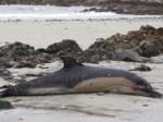 Cientos de tortugas, peces y delfines fueron encontrados flotando muertos en el Océano Pacífico, cerca de la costa Nicaragua. (Archivo)