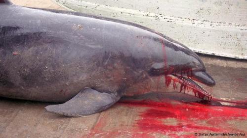Las imágenes lo dicen todo. Los restos de la cacería son la triste comprobación de que el comercio ilegal de carne de delfín continúa.