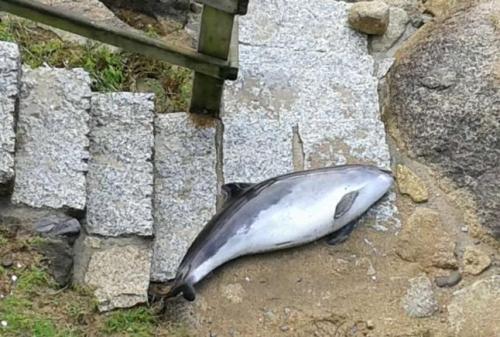 Arrecia el número de delfines que llegan a la costa de O Salnés con el temporal
