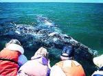 PELIGRO. Una ballena azul, una especie prioritaria para su conservación, dice Luis Medrano.
