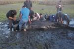 La Profepa salvó de morir a dos ballenas grises en playas de Baja California Sur