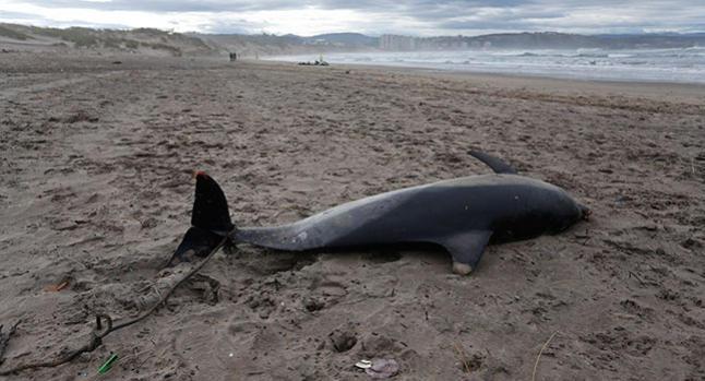 Hallan otro delf n en castrill n asturias espa a las - Tiempo en salinas castrillon ...