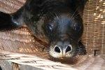 Lobo marino recogido en 2008 en Valdoviño (AEP)