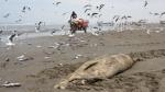 Nuevamente cientos de delfines aparecieron muertos en playas del norte. (Fabiola Valle)