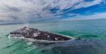 Las ballenas cruzan más de 8 mil kilómetros desde el Ártico para aparearse en estas aguas sudcalifornianas.