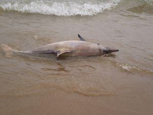 Uno de los delfines encontrados muertos en India. /TREE FOUNDATION