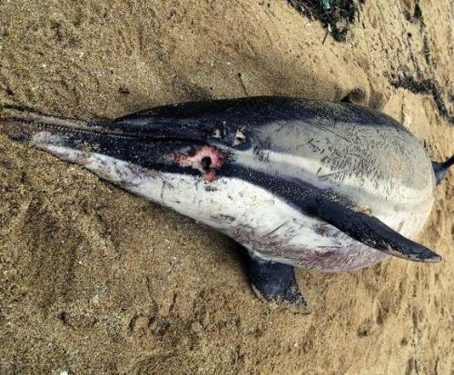 Las playas de Nigrán registran tres varadas de mamíferos marinos por los temporales