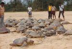 Miembros de la ONG Tree Foundation junto a algunas de las 800 tortugas encontradas muertas en India. / TREE FOUNDATION