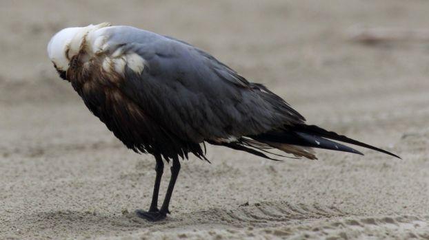 aves petroleadas