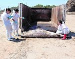 Personal de la Universitat de València analizan el cetáceo en Santa Pola.::UNIVERSITAT DE VALÉNCIA