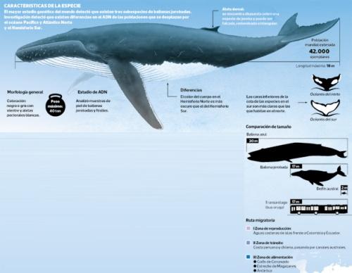 subespecies-ballena-jorobada