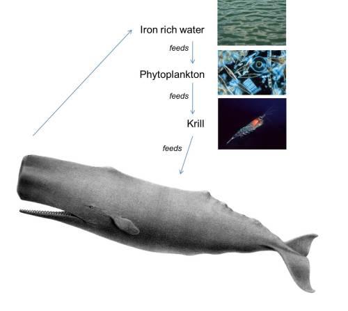 Diagrama de la cadena alimenticia de las ballenas. (Wikimedia Commons)