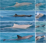 Images of hybrid (A1–2), adult snubfin (B1–2), humpback (D1–2) and bottlenose (D1–2) dolphins encountered at Cygnet Bay.