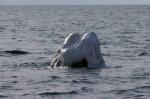 ballena-franca-cabeza-plastico