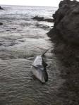 Foto cedida por el Instituto de Sanidad Animal de la Universidad de Las Palmas de Gran Canaria de un delfín varado en una playa de Canarias. (EFE)