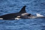 Un par de orcas avistadas en aguas de El Algarve (Portugal)EL MUNDO