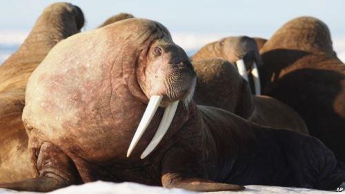 Unas 35.000 morsas fueron avistadas el 13 de septiembre por científicos de la NOAA que llevaban a cabo un estudio anual aéreo de mamíferos marinos en el Ártico.