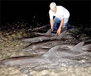 Personal de la delegación de la Profepa en la entidad logró rescatar 11 delfines que se vararon en la zona de El Mogote debido tal vez a efectos del paso del huracán Odile. / El Sudcaliforniano