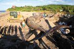 La ballena azul, de 17.5 metros fue enterrada cerca de la costa. LA PRENSA/ AFP
