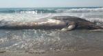 ballena-varada-Mexico