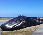 Un grupo de personas mira una ballena varada en la costa del sur de Australia.