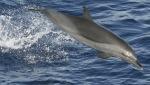 Crédito de la imagen: Robert L. Pitman - NOAA Fisheries