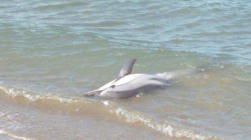 Imagen del delfín encontrado en la playa de La Pineda. Foto : Cos Agents Ruralss