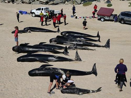 beached-pilot-whales-WA2