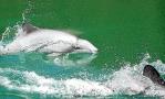 delfin-chileno-proyectos-hidroelectricos