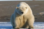 Polar-bear_US-Fish-and-Wildlife-Service