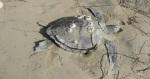 Los grupos ambientalistas exhortan al gobierno mexicano a elaborar e implementar un ordenamiento pesquero en la región para evitar pesca accidental de tortugas. Foto: Profepa/Archivo.