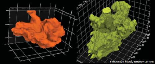 Los investigadores utilizaron escáneres tridimensionales para analizar la presencia del Osedax en los fósiles.