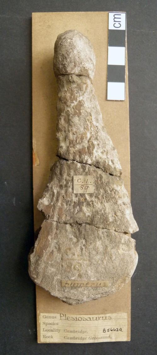 Plesiosaurus con marcas de Osedax (Plymouth University/PA)