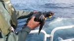 Imagen de la tortuga boba contaminada por chapapote encontrada en la zona del hundimiento. (Foto : C7)