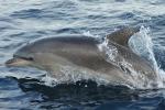El delfín mular, en la posición más elevada, es el que tiene mayores concentraciones de estos contaminantes. (Foto : CIRCE)