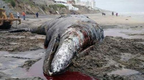ballena-gris-Tijuana2