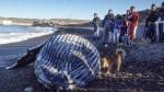 El ejemplar juvenil de ballena jorobada que apareció muerto en proximidades del puerto Caleta Paula fue centro de atención de miles de personas.