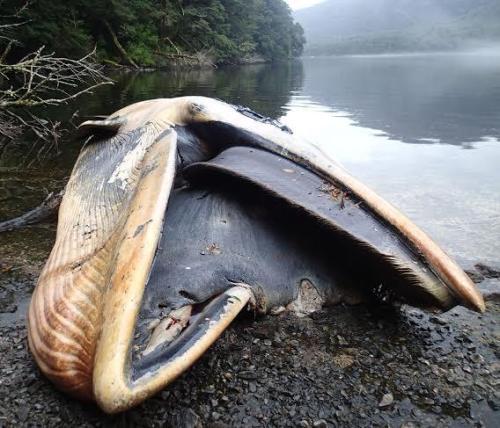 varamiento-masivo-ballenas-Golfo-de-Penas2