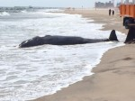 Autoridades trabajaron en la orilla para remover los escombros del animal.