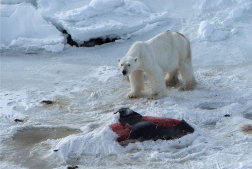 Un oso polar macho junto al cadáver de un delfín semienterrado en la nieve para su conservación. /JON AARS/NORWEGIAN POLAR INSTITUTE
