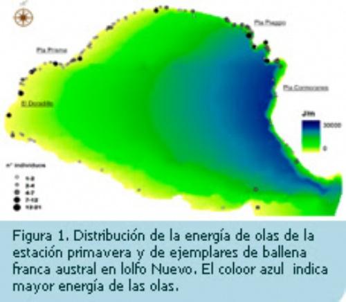 Se observa en laFigura 1que la distribución de la energía de las olas coincide con la predominancia de los vientos del sector oeste de la zona, dado que la mayor energía de olas (representada en color azul) se concentra en el margen este del golfo. Los puntos muestran que la mayoría de las ballenas se distribuyen a lo largo de la costa norte, entre el Doradillo y Punta Cormoranes. Además muchos individuos se concentran en la zona de alta energía.