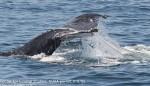 Whale-CCS-shark-Massachusetts
