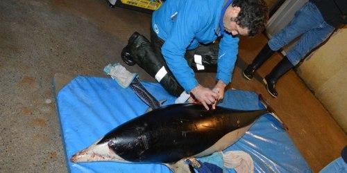 delfin-Chile-Pelluhue2