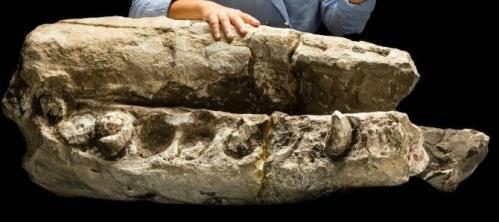 El fósil de Albicetus oxymycterus, compuesto por el pico y la mandíbula inferior de la ballena. El espécimen, que en la foto está sostenido por Alexandra Boersma, tiene de 14 a 16 millones de años de antigüedad. (Foto : Jame Di Loreto, Smithsonian)
