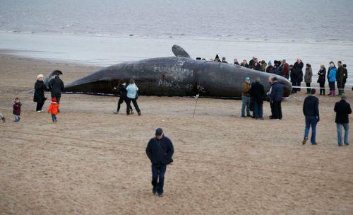 dead-sperm-whales-UK2